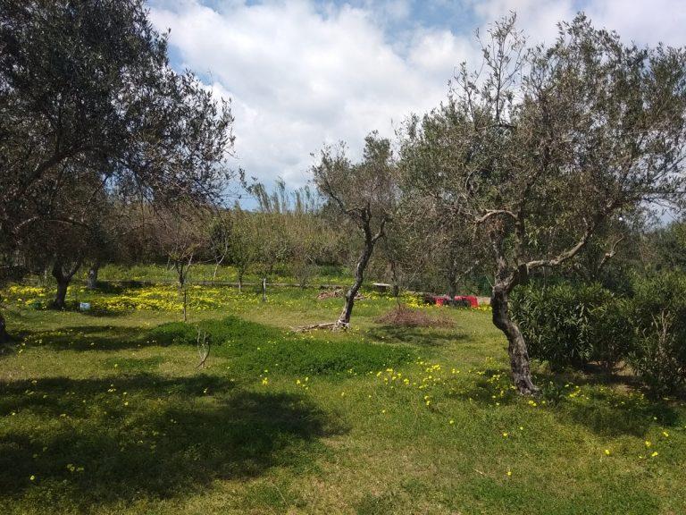 Villas for sale with private pools in Kolymbari Crete olive grove