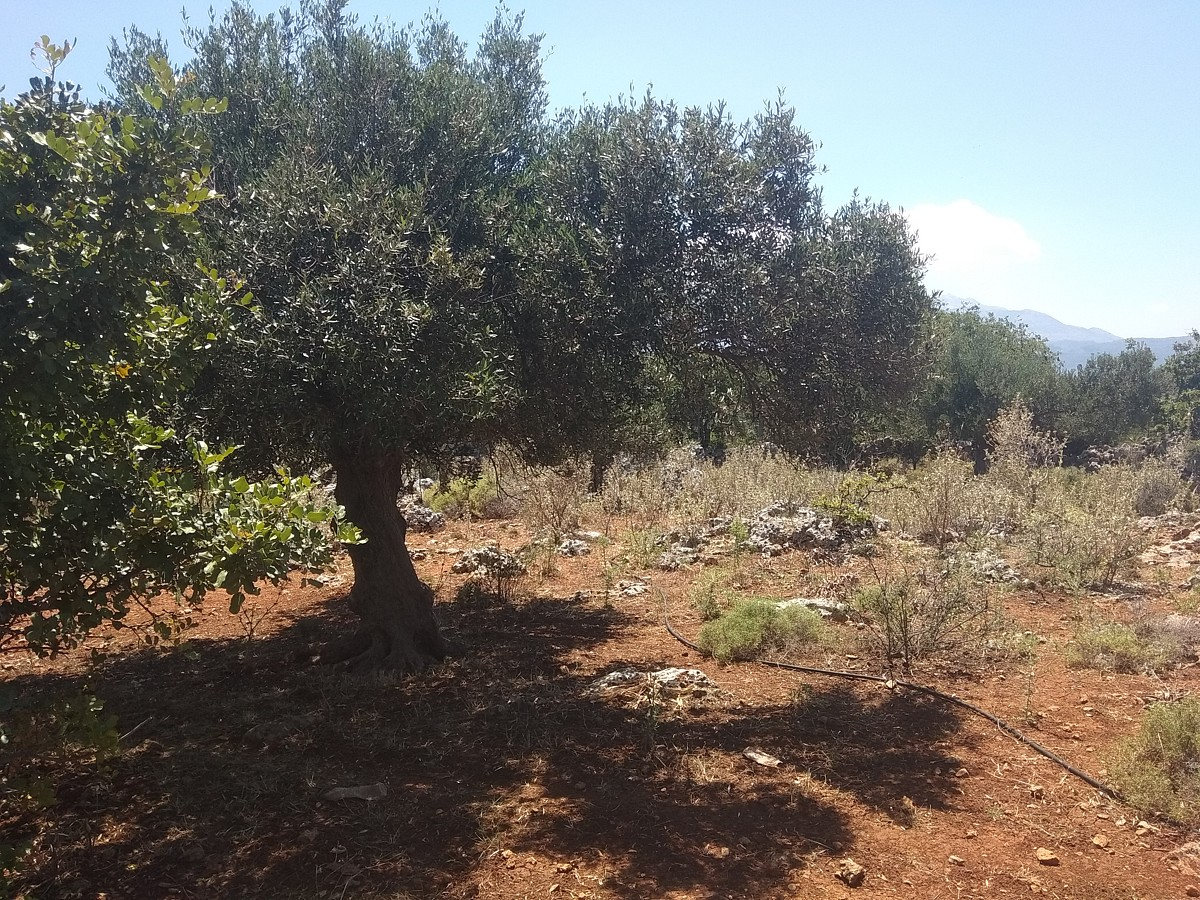 plot of land for sale in chania olive trees